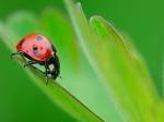ladybug-on-leaf-wallpaper-480x360